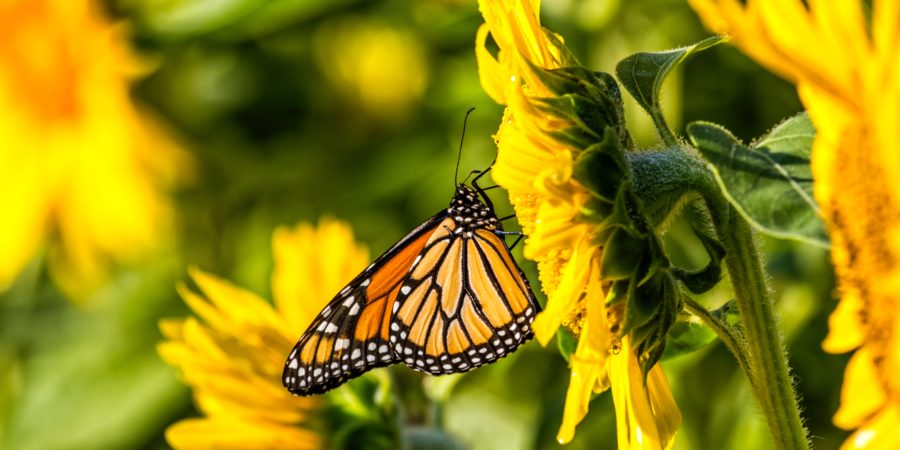 photograph of an orange and black butterfly on a sunflower