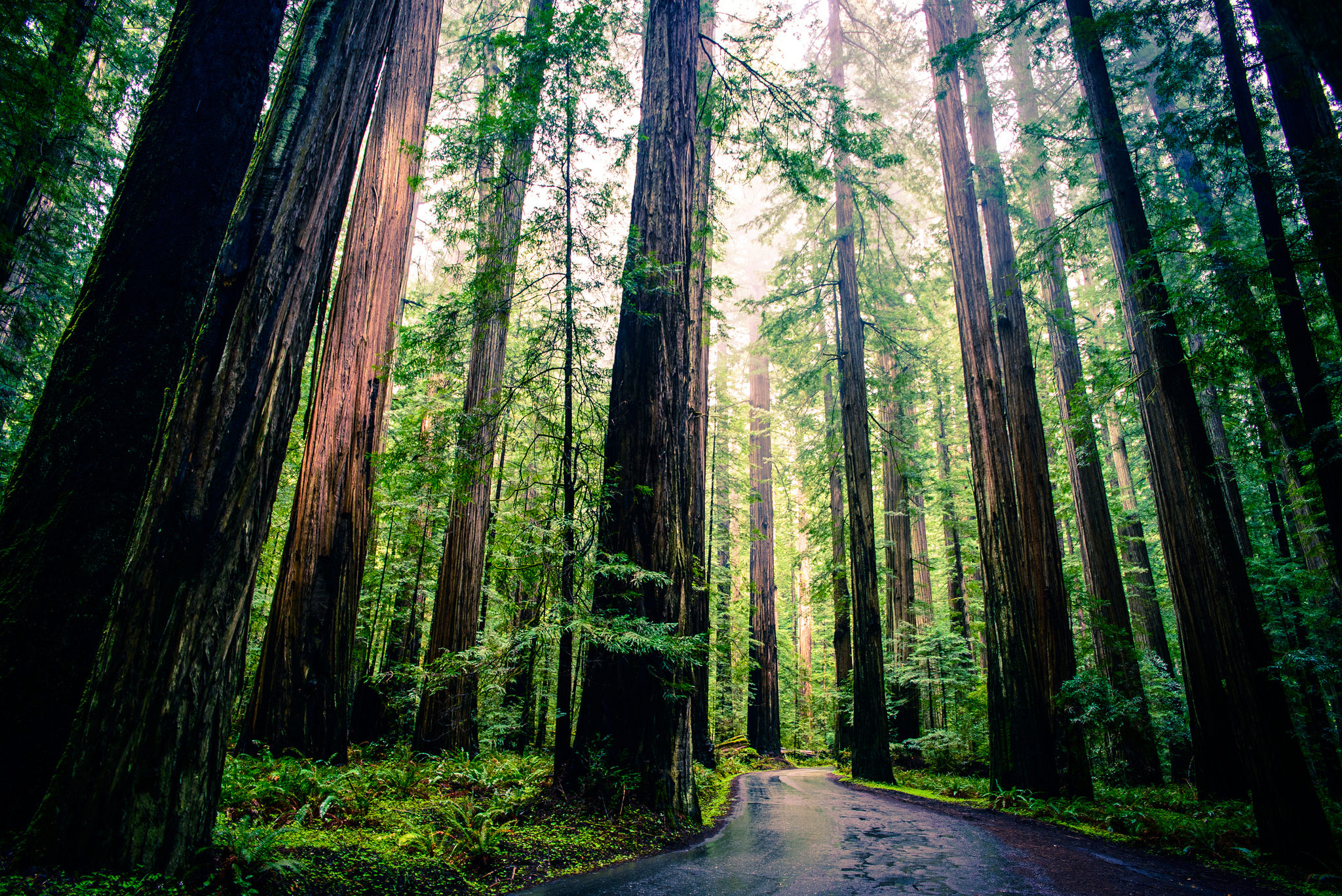 redwood trees