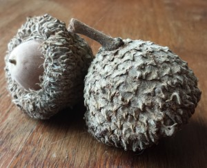 Acorns, a common symbol of entelechy